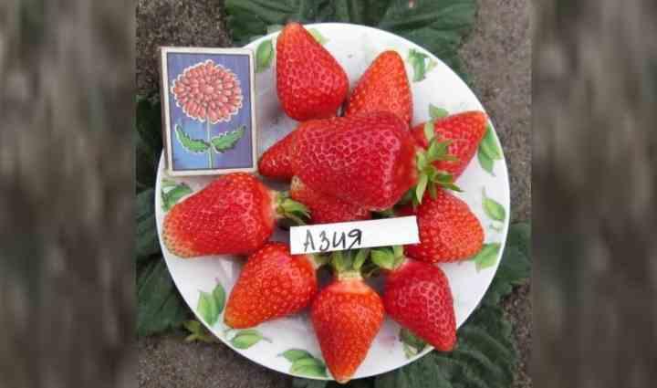 Клубника Азия является теплолюбивым растением