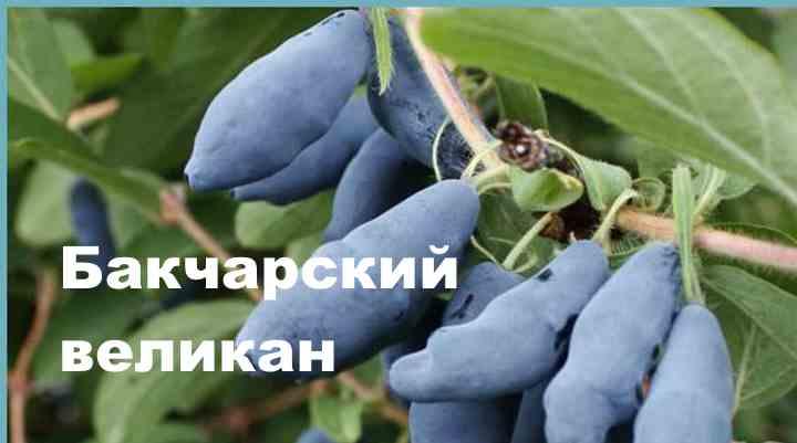 Жимолость Бакчарский Великан неспроста имеет такое наименование