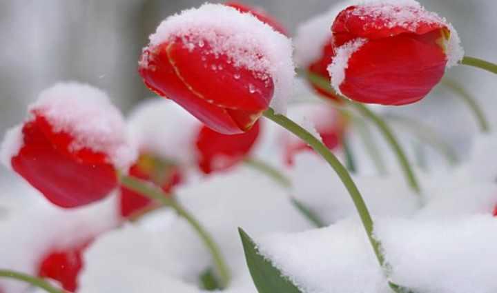 Под снегом тюльпаны