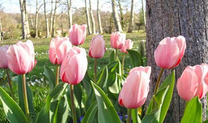 Цветение тюльпанов весной