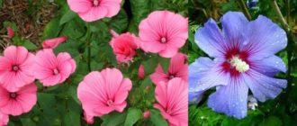 Многие садоводы и просто любители красивых растений обращают внимание