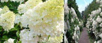 Гроздь цветов