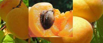 Урожайность плодов, их сладость и аромат напрямую зависят от освещенности места