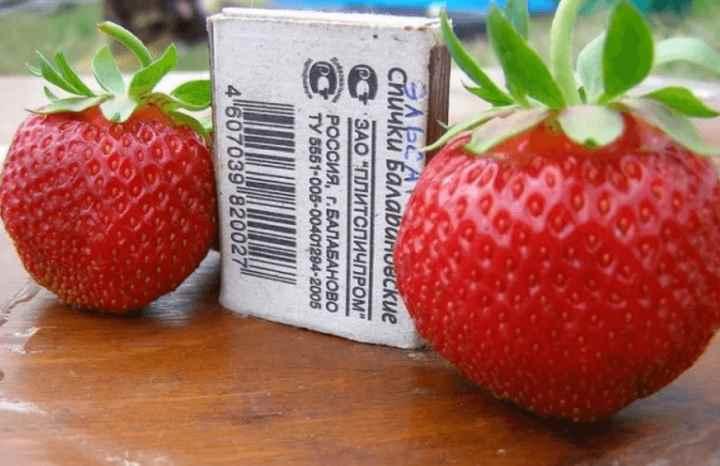 Плодоножка легко убирается, не оставляя на ягоде никаких повреждений.