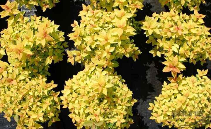 Лето – желто – золотистые листики