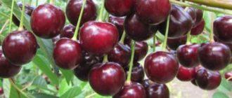 Яркий вишневый цвет ягод, на которых есть маленькие крапинки;