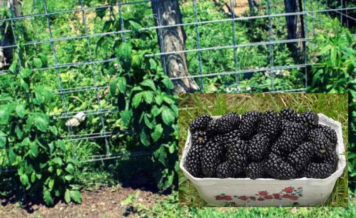 Хорошая урожайность только на солнечной стороне участка;