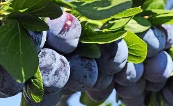 Вкусовые характеристики ягод;